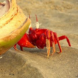 Red crab  by Soumen Mandal - Animals Sea Creatures ( sea creatures, red, nature up close, crab, animal )