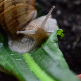 Snail close up by Laura Vasile - Animals Other ( macro, leaf, snail, garden, close up )