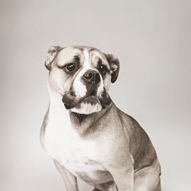 Sadie by Diane Wolfe - Animals - Dogs Portraits ( bulldog, animals, dogs, black and white, dog portrait )