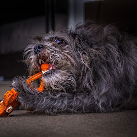 Steven and his favorite toy by Lee Underwood - Animals - Dogs Portraits ( playing, scruffy, chewing, dog, chew )