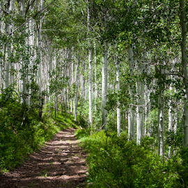 Aspen Grove by Tom Becker - Landscapes Forests ( trail, trees, forest, mountain road, aspen )