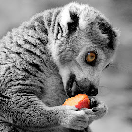 Lemur by Ralph Harvey - Animals Other ( wildlife, ralph harvey, marwell zoo, animal, selective color, pwc )