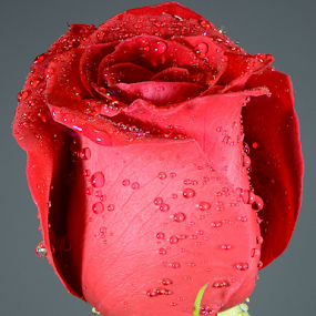A Red Rose by Steve Edwards - Flowers Single Flower ( rose, single flower, red rose, flowers, flower, , red, green )