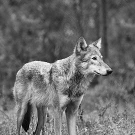Wolf by Madeleine Strand - Animals Other ( amazing, wild, monochrome, wolf, beautiful, wildlife, stunning )