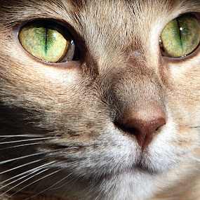 Kitty 2.0 by Lisa Ehrlich - Animals - Cats Portraits ( cats, green eyes,  )