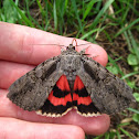 Sweetheart Underwing