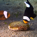 Saddleback Anemonefish/Clownfish