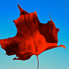 Maple Leaf by David W Hubbs - Nature Up Close Leaves & Grasses ( red leaf, blue sky, red, canadian maple leaf, maple leaf )