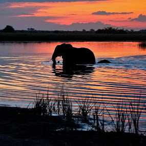 Savuti elephant crossing at sunset by Molly Doerner - Landscapes Waterscapes ( Africa, Safari )