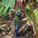 Common Green Darner dragonfly (young male)