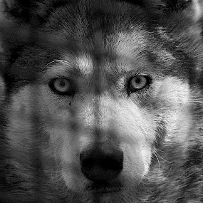 by Bica Razvan - Animals - Dogs Portraits (  )