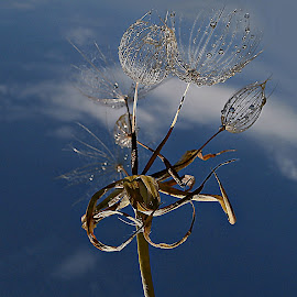Farewell Sun by Marija Jilek - Nature Up Close Other plants ( plant, nature, goat-beard, seeds, stem, leaves, sun )