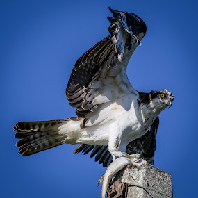 Back Off B*tch by Jared Lantzman - Animals Birds ( bird of prey, sea hawk, fish, breakfast, feather, bird, flying, food, wings, eating, fishing, hungry, large, eye, osprey,  )