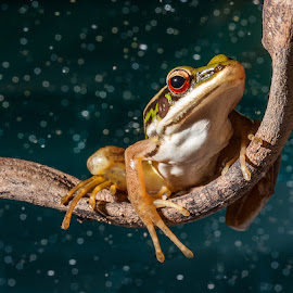 frog by Pkproject Khatawut J - Animals Amphibians ( animals, wild life, tree, nature, frog, amphibians, red eye, rain )