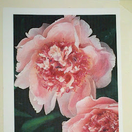 Peonies by Craig Higgins - Painting All Painting