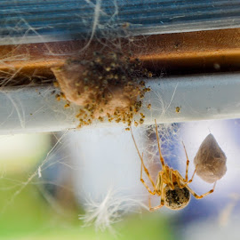 Spiderbabies  by Janille Whitaker - Nature Up Close Webs ( spiders, fall, web, egg, hatched,  )