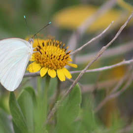 Small White by Jay Dooley - Animals Insects & Spiders