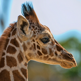 Little Giraffe by Cristobal Garciaferro Rubio - Animals Other Mammals ( little giraffe, giraffe )