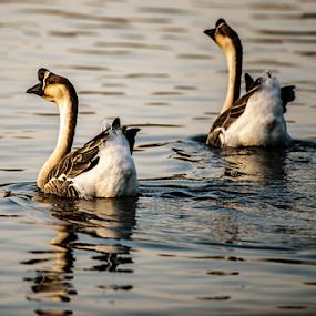 African Goose by Cristobal Garciaferro Rubio - Animals Birds