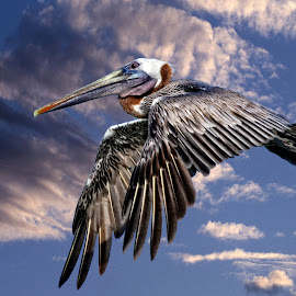 Pelican fly by by Sandy Scott - Digital Art Animals ( pelican in flight, fishing birds, florida birds, water birds, brown pelican, birds, pelican,  )
