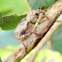 Lumpy weevil