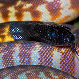 by Darrell Raw - Animals Reptiles