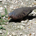 Common Ground Dove (male)