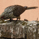 Asian Koel (Female )