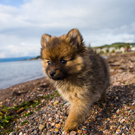 on the move with hugo by Michael Sweeney - Animals - Dogs Running ( 125, scotland, scotland running, michael m sweeney, largs, beach, 24mm, d800, puppy, dog, nikon, pomeranian, f5 )