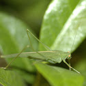 Bush Cricket or Leaf Katydid