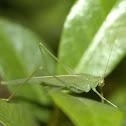 Bush Cricket or Leaf Katydid