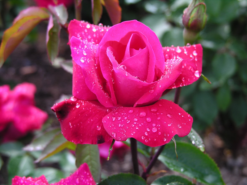 http://lh4.ggpht.com/marocha52/SE16yOqiEdI/AAAAAAAABc4/RYF6PlHCXt0/s800/Roses-86-24WNB1CXVJ-800x600.jpg