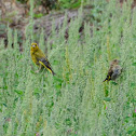 European Greenfinch, verderón