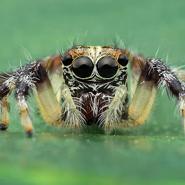 Spider by Lim Andy - Animals Insects & Spiders ( macro, jumping spider, spider, insect )