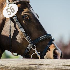 by Steve Nielsen - Animals Horses (  )