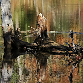 Stump Reflection by Catherine Melvin - Nature Up Close Trees & Bushes ( reflection, maine, autumn, autumn colors, stumps )