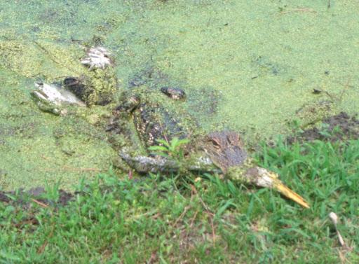 Alligator eating an Egret