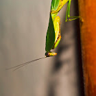 Leaf back praying mantis