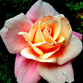 Rose by Janette Ho - Instagram & Mobile iPhone