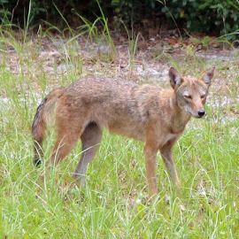 Coyote by Tony Fruciano - Animals Other (  )