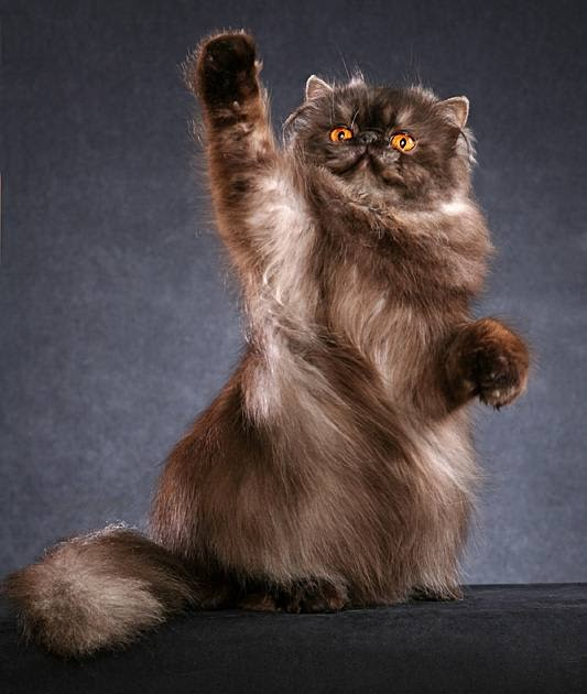 Blog About Cats: Black Persian Cat