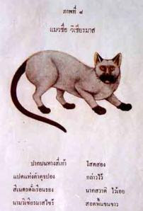 Smud Khoi of cats - Traditional Siamese cat