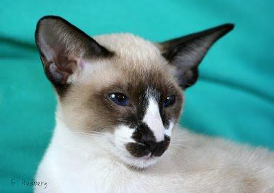 Seychellois cat