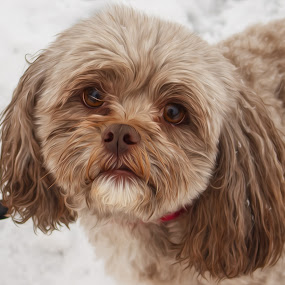 My dog. by Steve Kazemir - Animals - Dogs Portraits ( poodle, outdoors, snow, weather, wet, shih tzu, dog, small, outside )