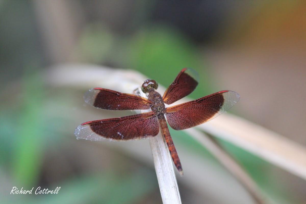 Maroon Grasshawk