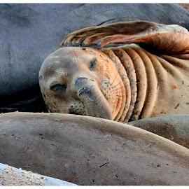 I got a hangover by Kartik Mahadev - Animals Sea Creatures ( #seacreatures #animals #wild #wildlife #beautiful #mammals #sea #nature #travel #coastline #california #bigsur #usa #ontheroad #beach #elephantseal,  )