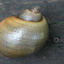 Island Apple Snail