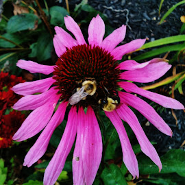Beautiful  by Anna Tripodi - Nature Up Close Gardens & Produce ( bees, summer, coneflower, pretty, flower,  )