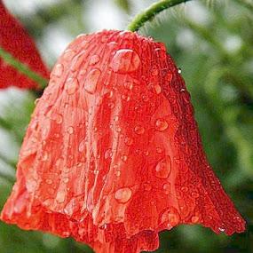 un mac plouat ...mai vechi! by Gabriela Gabriella - Flowers Flowers in the Wild