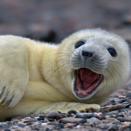 Howdy by Michael Milfeit - Animals Other Mammals ( halichoerus grypus, kegelrobbe, seal, howdy, helgoland, robbenbaby, robbe, gray seal, heuler )